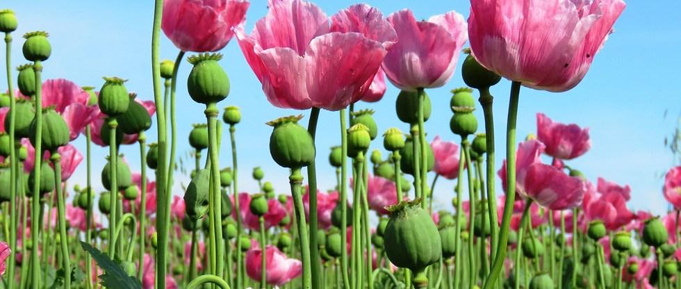 Opium https://www.covecenterforrecovery.com/treatment/drug-addiction-rehab/opium/